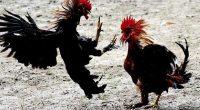 online cockfighting game